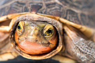 Gelbrand-Scharnierschildkröte