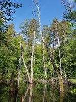 Erlenbruchwald und tote Bäume im Briesetal nördlich von Berlin