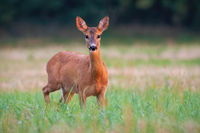 Roe deer doe standing on field in summer nature at sunset.