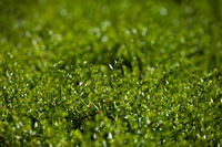 Background from green shoots of a bush. Abstract background.