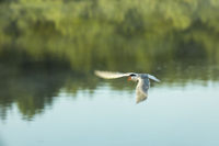 tern bird flies over a pond