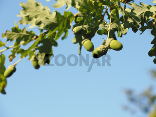 Oak tree with young acorns in front of a blue sky
