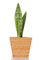 Sansevieria in pot isolated.