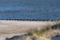 Seevögel am Strand von Amrum