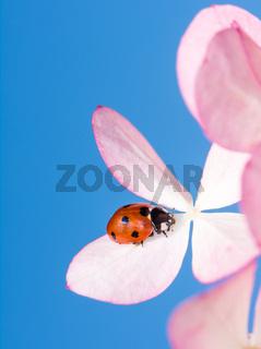 Ladybug Crawling on Pink Flower Blossoms