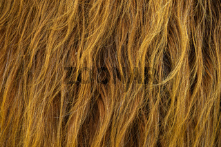 Scottish Highland Cow Hair Background