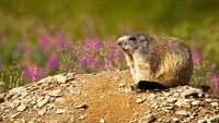 Alpine marmot resting on a sunny summer day with flowers in background.
