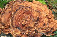 Riesenporling, Giant Polypore, Black-staining polypore, Meripilus giganteus