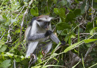 red colobus that sits on a tree and eats leaves