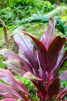 Costa Rica Cordyline fruticosa red