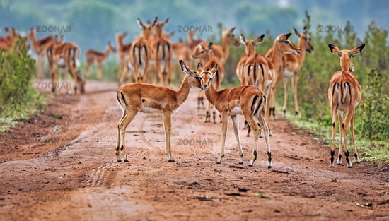 Impalas im Lake Mburo Nationalpark in Uganda (Aepyceros melampus) | Impalas at Lake Mburo National Park in Uganda (Aepyceros melampus)