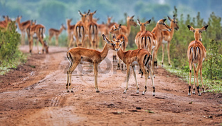 Impalas im Lake Mburo Nationalpark in Uganda (Aepyceros melampus) | Impalas at Lake Mburo National Park in Uganda (Aepyceros melampus)
