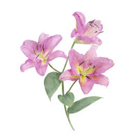 Lily Flowers watercolor illustration