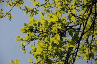 Quercus robur, Steineiche, German oak
