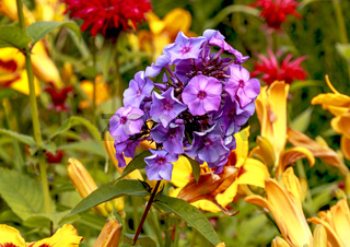 Nahaufnahme, violette Blüte, Hortensienart, knallige Farben,