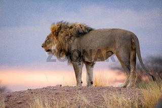 Lion at etosha national park, Namibia