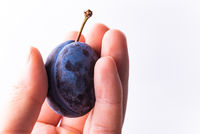 Close up of one plum fruit in hand with copy space