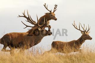 red deers ( Cervus elaphus ) on a wild run