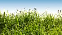 Gras auf grüner Wiese vor einem blauen Himmel