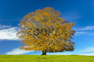 big single beech tree at autumn
