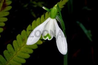 Blüte eines Schneeglöckchens