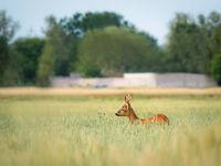 roe deer in a meadow