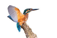 Young common kingfisher with spread wings cut out on blank