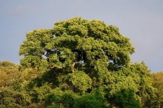 Baum in der Abendsonne