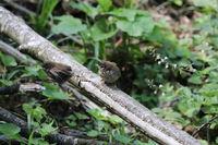 Eurasian wren (Troglodytes troglodytes) chicks waiting for food