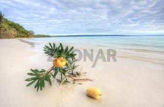 Banksia Serrata on the beach