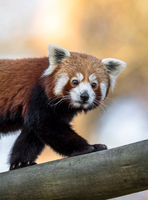Beautiful Red Panda or Lesser panda, Ailurus fulgens, walking on a tree trunk