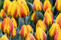 Frühe rot orange Tulpe Flair