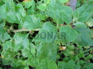 Neuseeländischer Spinat, Tetragonia tetragonioides, im Garten