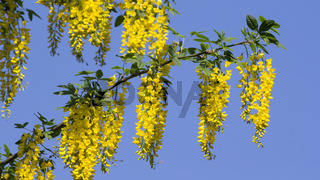 Laburnum anagyroides flowers
