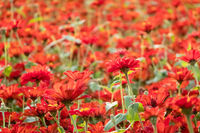 colorful cosmos flowers farm