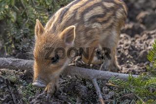 Wildschwein Frischling 'Sus scrofa'