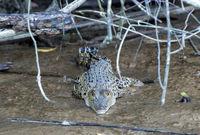 Salzwasserkrokodil (Crocodylus porosus), Sabah, Borneo, Malaysia