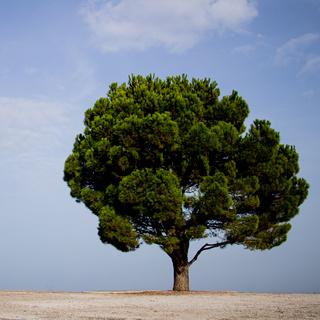 Kalabrische Kiefer auf Kreta