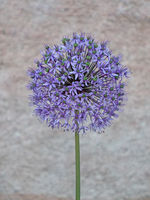 Nahaufnahme der Blüte eines Zierlauchs (Allium)