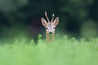 Roe deer peeping from grass in summertime nature.