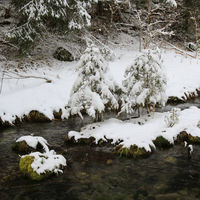 Snow covered small trees and creek.