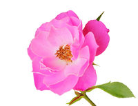 Beautiful Roses (Rosaceae) isolated on white background, including clipping path.