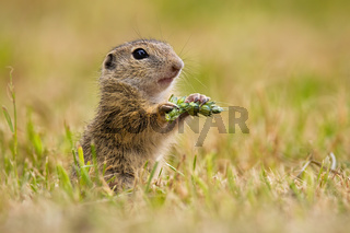 European ground squirrel holding ear in hand on field.