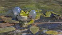 Wasserfrosch 'Rana lessonae'