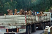 Truck full of camels, Ethiopia
