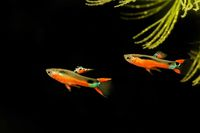 Guppy, Poecilia wingei Sata Maria isolated on a black background