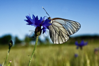 White butterfly on blue flower