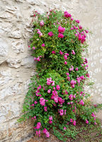 Pink rambler rose climbing a wall