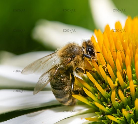 Honeybee collecting nectar on a echinacea flower blossom