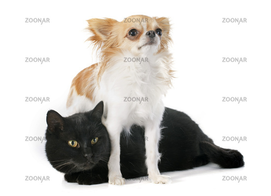 black cat and chihuahua